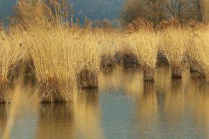 """Di 12.05.2020   Wanderung auf dem """"Ufer Natur""""- Pfad am Bodensee ------------------------------------ Auf unbestimmte Zeit verschoben"""